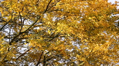 Autumn Windy leaves on tree branches Stock Footage