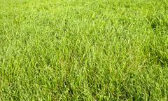 Green grass seamless texture. seamless in only horizontal dimension. Stock Photos