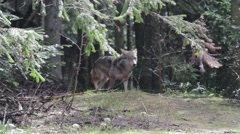 Wolf in the woods - stock footage