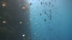 Steep wall with  shoal of pyramid butterflyfish redtoth triggerfish Bunaken Stock Footage