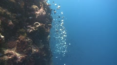 Steep wall with sponges Bunaken Indonesia Stock Footage