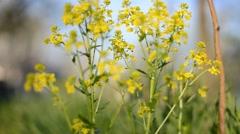 Flower winter cress Stock Footage