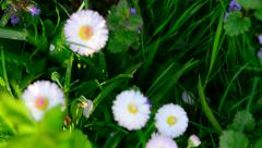 Green meadow with daisies Stock Footage