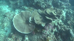 Table coral Bunaken Indonesia Stock Footage