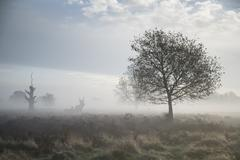 Red deer stag in atmospheric foggy autumn landscape Stock Photos