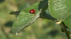 Lady beetle hides behind leaf Stock Footage