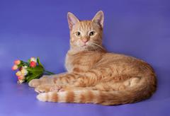 ginger kitten lying next to bouquet of flowers on lilac - stock photo
