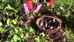 Gardener harvesting beetroot beet vegetable Stock Footage