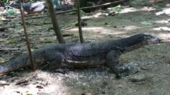 Huge monitor lizard eats food. Palawan Island. Philippines. Stock Footage