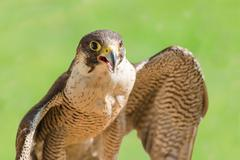 Fast bird predator accipiter or peregrine with open beak Stock Photos