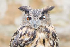 Stock Photo of horned owl or bubo bird close-up portrait