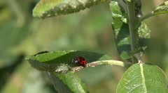 Lady beetle cleans oneself Stock Footage