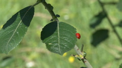 Lady beetle scrabbles on plant 01 Stock Footage