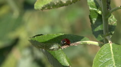 Lady beetle scrabbles on plant 02 Stock Footage