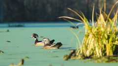 Wood Ducks Stock Footage