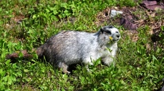 A hoary marmot (Marmota caligata) munches on flowers in an alpine field Stock Footage