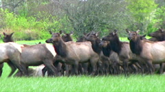 Roosevelt Elk herd Olympic National Park Washington State Stock Footage