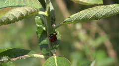 Lady beetle scrabbles on plant 04 Stock Footage