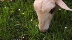 Detail of Sheep Eating Grass Stock Footage