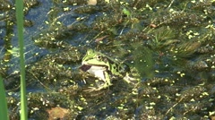 Frog  sits on aquatic plants on the water surface - on camera Stock Footage