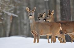 Roe deer herd in winter - stock photo