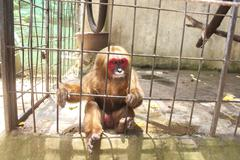 Chimpanzee in a cage Kuvituskuvat