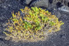 Sparse vegetation at volcanic stones Stock Photos