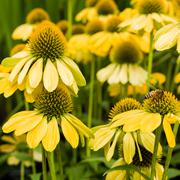 Group of yellow echinacea flowers Stock Photos