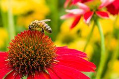 bee on red flowering echinacea bloom - stock photo