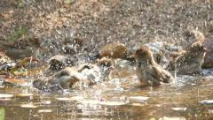 Flock of lively bathing sparrows, slow motion 18 Stock Footage