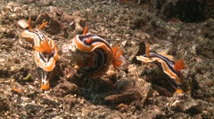 Nudibranches chromodoris magnifica Lembeh Strait Indonesia Stock Footage