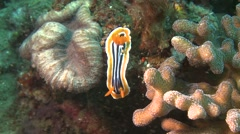 Nudibranch chromodoris magnifica Lembeh Strait Indonesia Stock Footage