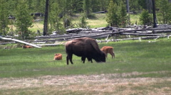 141130a mother and baby buffalo Stock Footage