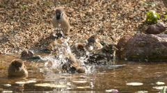 lively bathing sparrows, slow motion 10 - stock footage