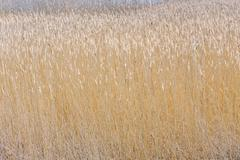 Stock Photo of reed grass at the backwater
