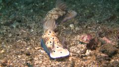 Nudibranch risbecia tryoni Lembeh Strait Indonesia Stock Footage