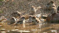 lively bathing sparrows, slow motion 17 - stock footage