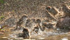 Flock of lively bathing sparrows, slow motion 16 Stock Footage
