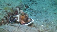 Veined octopus Lembeh Strait Indonesia Stock Footage