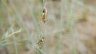 Stock Video Footage of Spider vs grasshopper