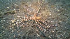 Octopus wonderpus Lembeh Strait Indonesia Stock Footage