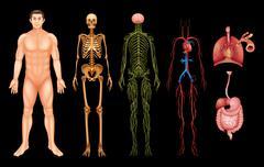 Human body systems Stock Illustration