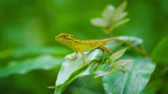 Small wild lizard on a tropical plant. thailand, phuket island Stock Footage