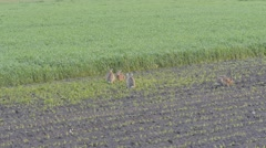 Hares in mating season, running and fighting 11 Stock Footage