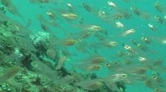 Glassfishes Bunaken Indonesia Stock Footage