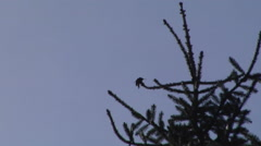 Hummingbird spreads its wings on top of tree Stock Footage
