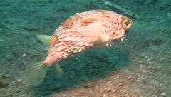 Freckled porcupinefish Lembeh Strait Indonesia Stock Footage