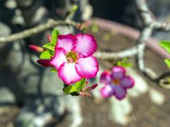 adenium flower - stock photo