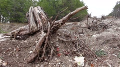 Big pulled up roots. Deforestation. Stock Footage