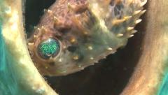 Orbicular burrfish eyeshot Lembeh Strait Indonesia Stock Footage